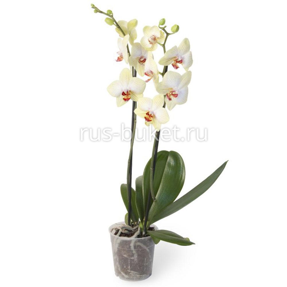 Орхидеи в туле купить